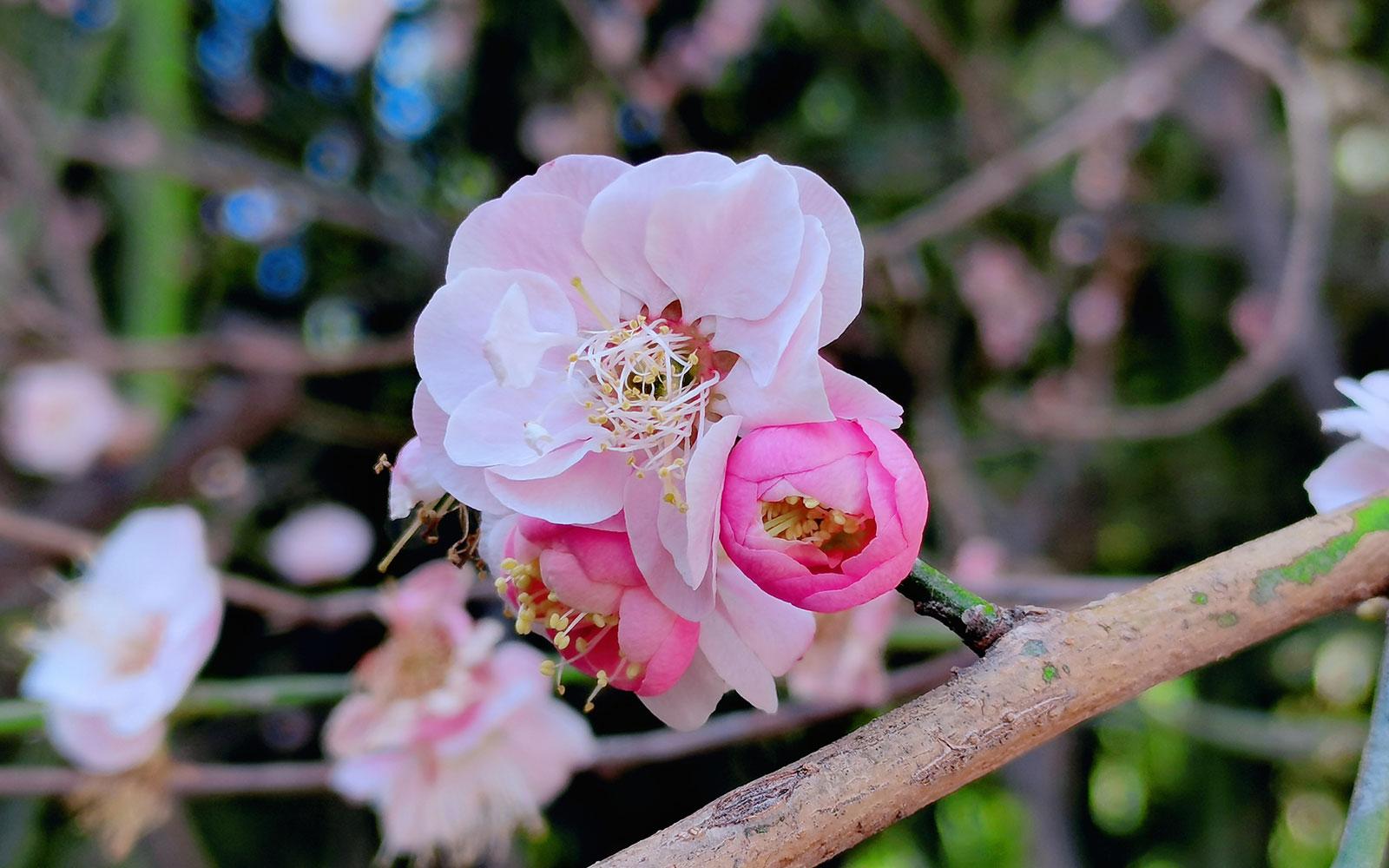 一花一世界——大慈恩寺里的春色繁影